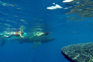 Excursion-rencontre d'une journée complète avec les requins-baleines...