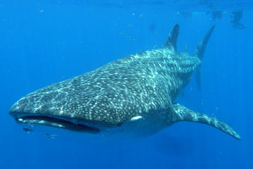 Whale Shark Encounter Private Tour