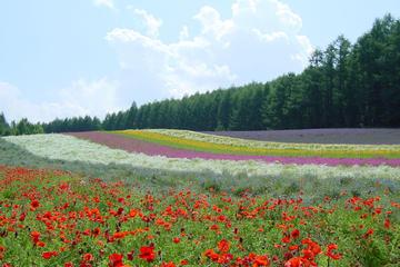 札幌からチャーター車で行く富良野・美瑛終日ツアー