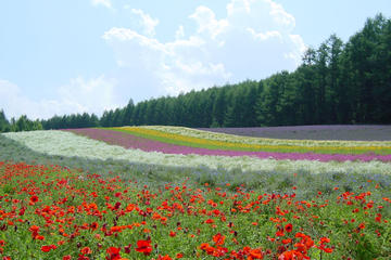 Furano and Biei One-Day Tour by...