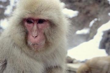 Private Tour: Meet Snow Monkeys Day...