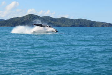 Morning or Afternoon Whitsundays Whale Watching Cruise from Airlie...