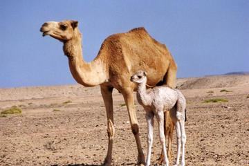 Wahiba Sands&Wadi Bani Khalid desert ...