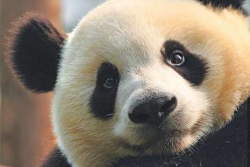 Day Tour to Panda Base & Enjoy Chengdu's life by Taxi