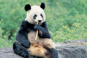 Hold the Panda & Mt Qingcheng Walk