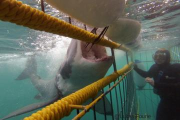 Shark Cage Diving and Viewing in...