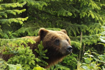 Chichagof Island Tour: Brown Bear...