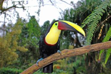 Vogelbeobachtung in der Nähe des Vulkans Arenal