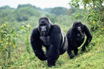 5 Days gorilla and kibale chimp...