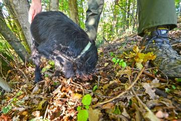 Guided Truffle Hunt Istria