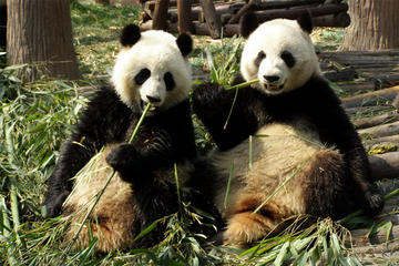 Private Day Tour: Dujiangyan Panda Base Volunteering from Chengdu