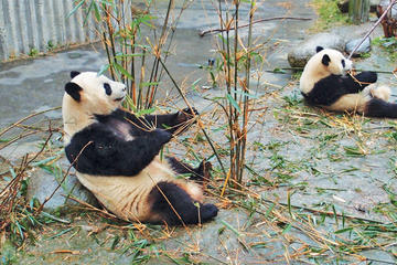 Private Day Tour of Chengdu Giant Panda and Chinese Kung Fu Learning