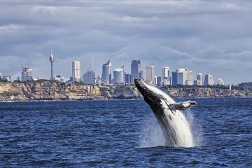 シドニーのウェール ウォッチングと観光を楽しむ…