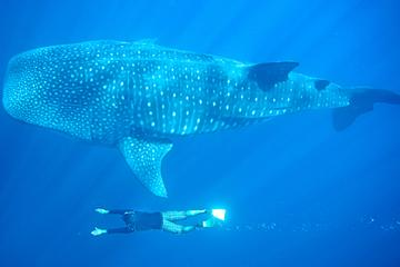 Whale Shark Encounter in Cabo San Lucas