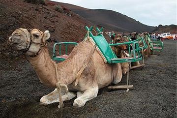 Camel Ride in the Dunes of Maspalomas