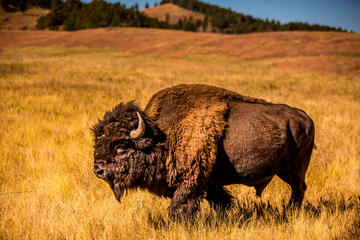 Book TWO DAY FALL TOUR SPECIAL - Buffalo Roundup and Northern Hills Change of Colors on Viator