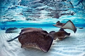 Ripley's Aquarium of Canada: Snorkel with Stingrays Experience