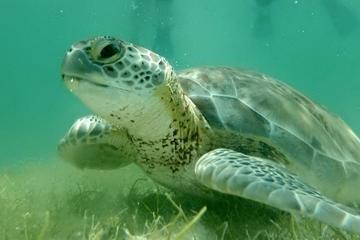 Plongée libre parmi les tortues et...