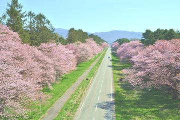 Cherry Blossom: Experience Sapporo including Shizunai Nijukken Rd. Flower Viewing