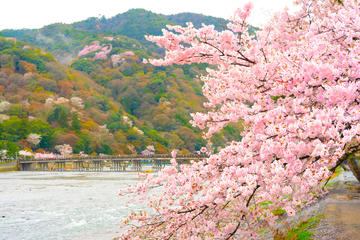 Cherry Blossoms in Kyoto: 7 Famous Spots including Arashiyama in 1Day from Osaka