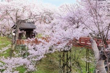Cherry Blossoms in Nagano: Day Trip to Takato Joshi Park from Nagoya