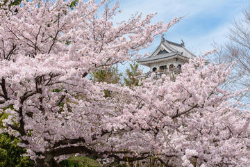 Cherry Blossoms in Shiga: Day Trip including Strawberry Picking from Osaka