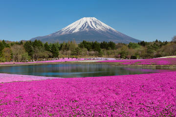 Day Trip to Mt Fuji: Shibazakura and Tulips Festivals from Tokyo