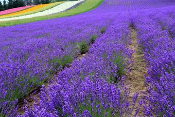 Full-Day Furano Lavender Farm and...