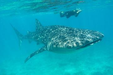 Aventura con tiburones ballena y buceo de superficie desde Isla Holbox