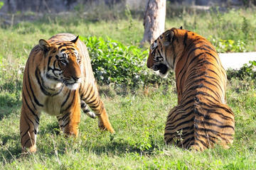 5-Star Hotel Package: 4-Day Ranthambhore Tiger Tour from Delhi, Jaipur and Agra