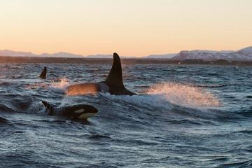 Winter Orca and Whale Safari in ...