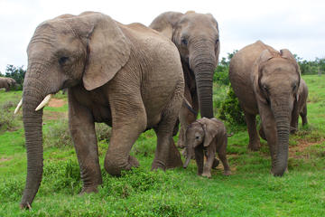 Kuala Gandah Elephant Sanctuary Tour from Kuala Lumpur