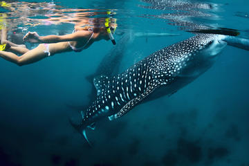 La Paz Whale Shark Snorkeling
