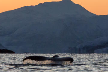 Orca and Humpback Whale Safari in a Collin Archer from Tromso