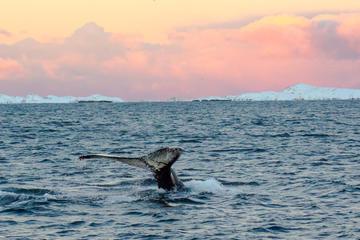 Orca- und Buckelwal-Safari mit Meeresbiologe in einem Zodiac von...