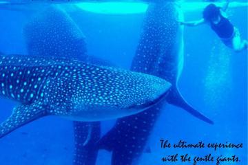 Expérience de nage avec les requins-baleines et Aguinid Falls au...