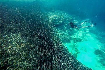 The Ultimate Rush : Moalboal Sardine...
