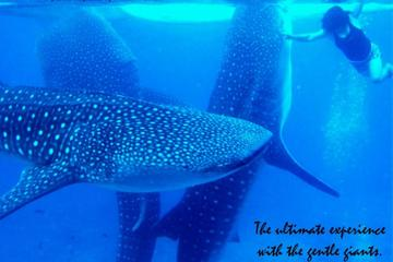 Whale Shark Swimming Experience and...