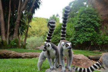 visite-de-bioparc-fuengirola-lemur
