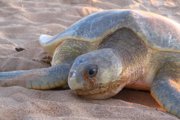 Sunset Turtle Sighting on Bare Sand Island from Darwin