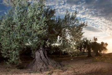 Zaragoza olive oil tour & Visit to...
