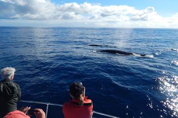 Observação de Baleias na costa de...