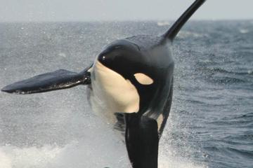 Tour di avvistamento di balene da Vancouver a Victoria con ritorno a