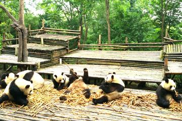 Private Half-Day Chengdu Panda Base Tour