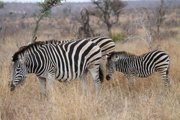 Full-Day Kruger Park Safari from...