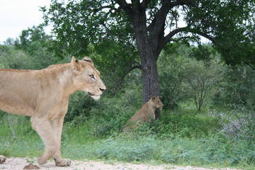 Full-Day Big 5 Safari from Hazyview