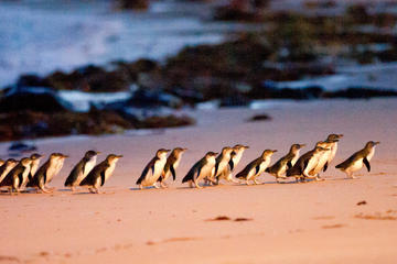 Boutique Intimate Tour to Phillip Island Penguin Parade from Melbourne