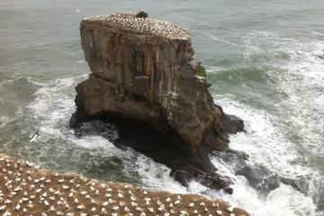 Tour zur Tölpelkolonie an der Westküste und Weintour ab Auckland