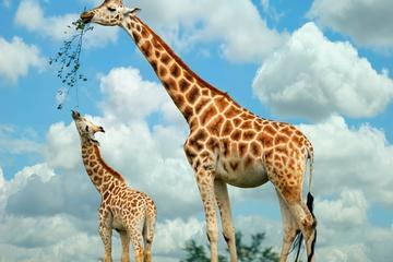 Nairobi Highlights: Karen Blixen, Kazuri Beads, and Giraffe Center