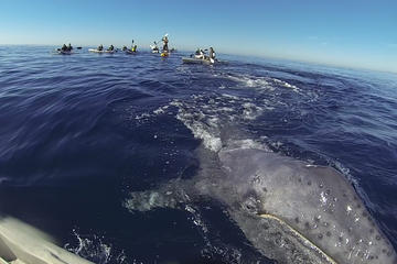 2 Hour Whale Watching Kayak Tour
